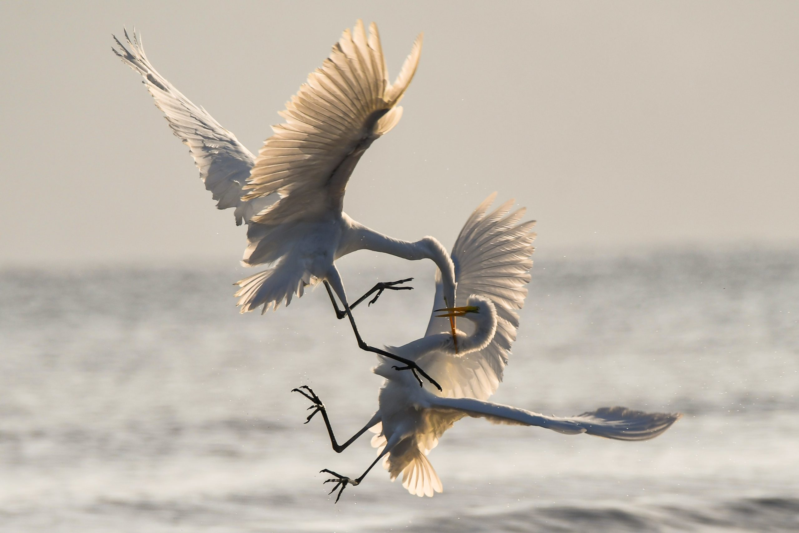 Two cranes fighting in mid air above the sea